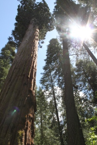 Big Sequoia Trees